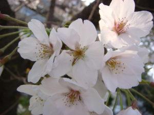 桜_大濠公園_20120401